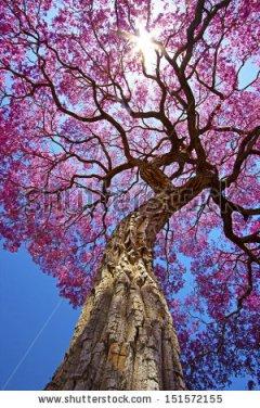 Lapacho tree in Pocone, Mato Grosso, Brazil (© Roberto Tetsuo Okamura www.shutterstock.com)